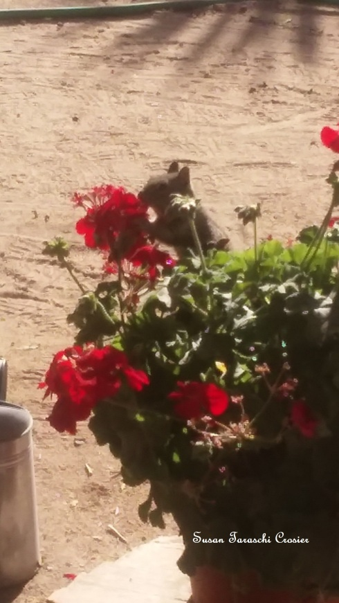 Mr Squirrel eating my Geraniums